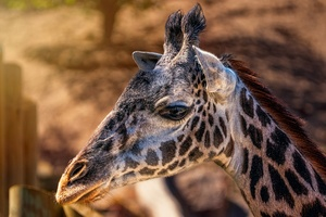 Giraffes Head Closeup 4k Wallpaper