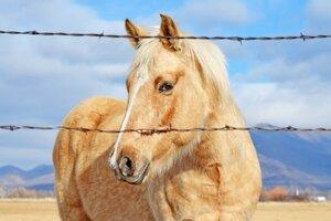 Golden Horse Wallpaper