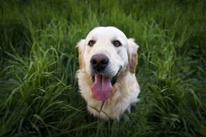 Golden Labrador Retriever 5k Wallpaper
