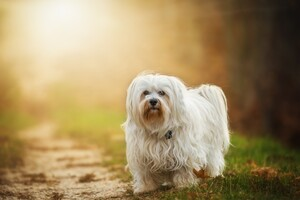 Havanese Dog Breed Wallpaper