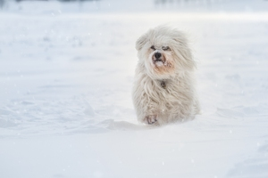 Havanese Running In Sbow Wallpaper