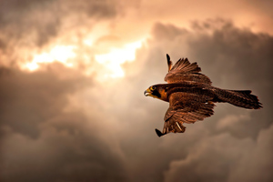 Hawk Flying In Sky 4k Wallpaper