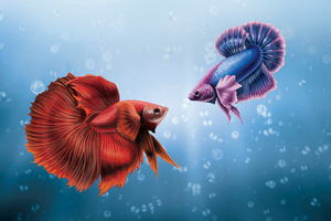 Him And I Betta Fish Wallpaper