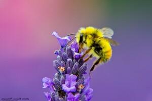 Honey Bee Lavendar Nectar Wallpaper