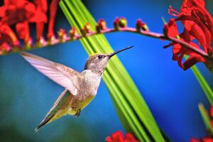 Hummingbird Bird Wallpaper