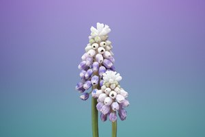 Ios 11 Flower Muscari