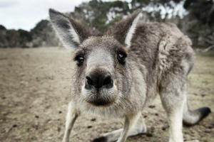Kangaroo Funny Wallpaper