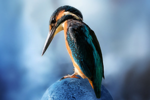 Kingfisher Bird Sitting Wallpaper