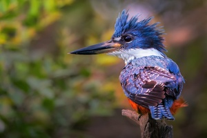 Kingfisher Hd
