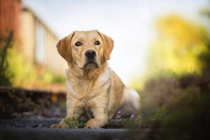 Labrador Retriever Hd Wallpaper
