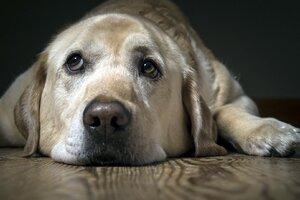 Labrador Sad