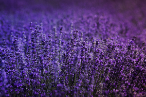 Lavender Field 5k Wallpaper