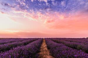 Lavender Field Under Pink Sky 5k Wallpaper