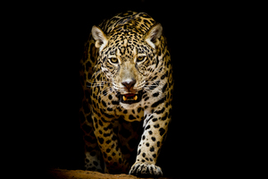 Leopard 4k Black Background Wallpaper
