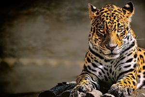 Leopard 4k Glowing Eyes Wallpaper