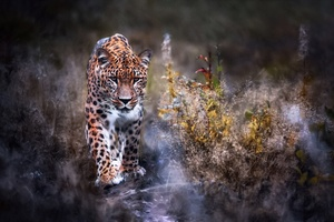 Leopard Big Cat Wallpaper