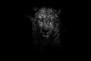 Leopard Dark Monochrome 5k Wallpaper