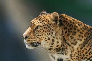 Leopard Wild Animal Wallpaper