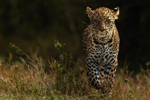 Leopards 4k Wallpaper
