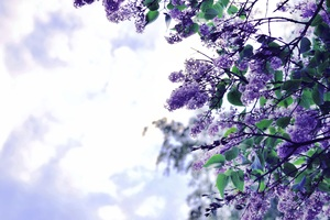 Lilac Flowers Tree Wallpaper