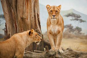 Lion 5k Wallpaper