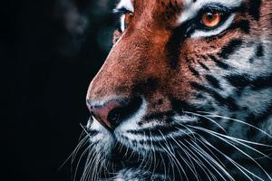 Lion Closeup 4k Wallpaper