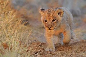 Lion Cub Walking Wallpaper