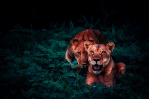 Lion Cubs In Jungle