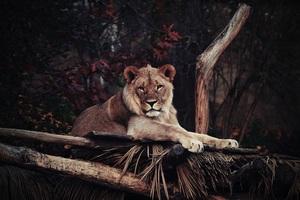 Lion In Zoo 4k