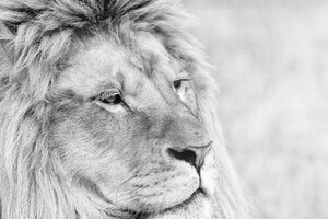 Lion Monochrome Wallpaper