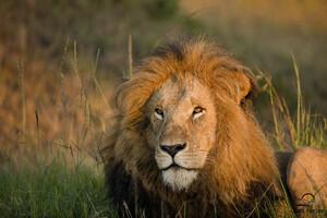 Lion Morning Light 5k
