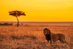 Lion On Grass Field 5k Wallpaper