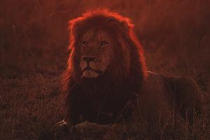 Lion On Green Grass During Golden Hour 4k Wallpaper