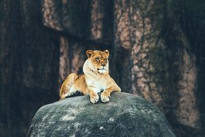 Lion Sitting On Rock 4k