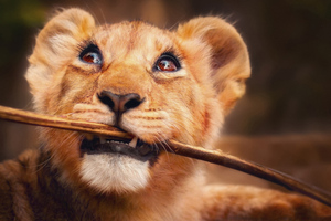 Lion With Stick In Mouth 4k Wallpaper