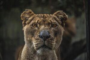Lioness Macro 5k
