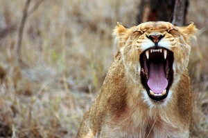 Lioness Predator Wallpaper