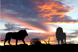 Lions Africa Silhouette Sunset Wallpaper
