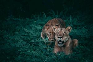 Lions Wildlife 5k