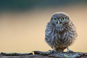 Little Cute Owl 4k