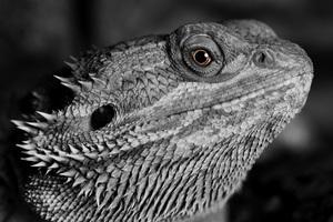 Lizard Reptile Monochrome 4k Wallpaper
