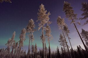 Long Pine Trees Winter Northern Lights Wallpaper
