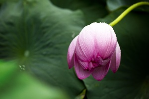 Lotus Leaf Wallpaper