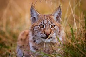 Lynx 5k Wallpaper