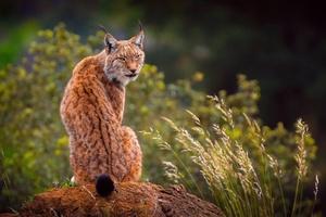 Lynx Predator