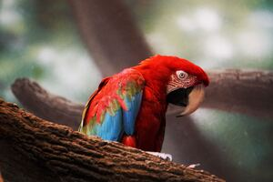 Macaw Parrot Closeup Wallpaper