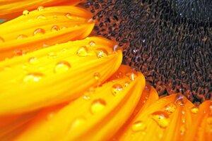 Macro Sunflower Wallpaper