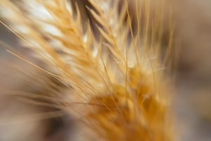 Macro Wheat 4k Wallpaper