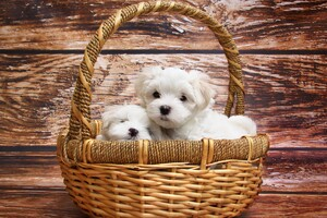 Maltese Dog Breed Wallpaper