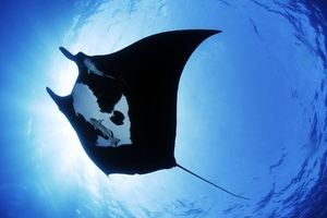 Manta Ray Sea Creature Wallpaper